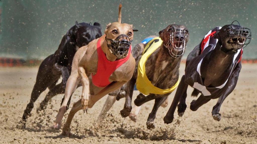 Hundkapplöpning - Betta på greyhound racing